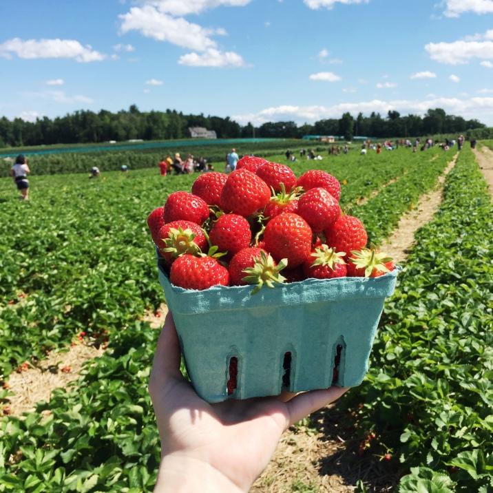 strawberries-picking