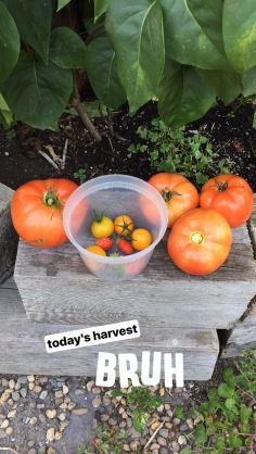 home-garden-tomatoes