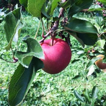 apple-picking-boston